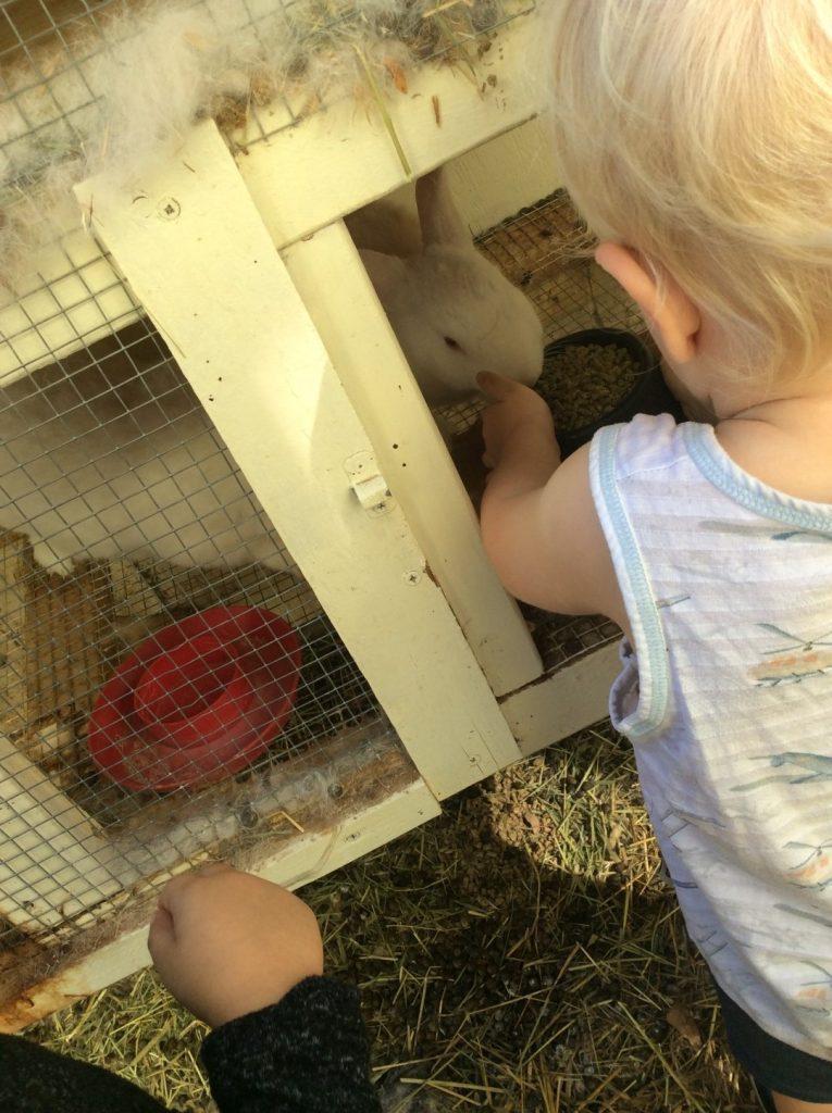 preschool child feeding a rabbit