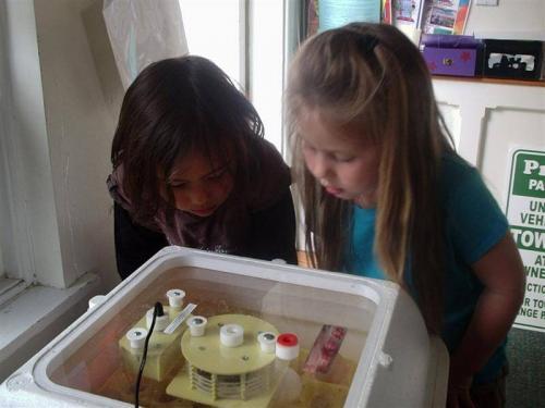 preschool animals - chickens hatching